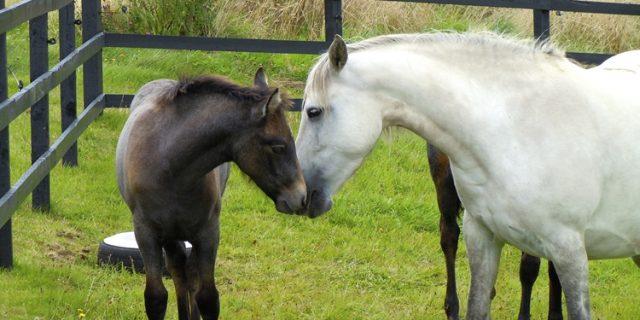 Manor Connemara Ponies